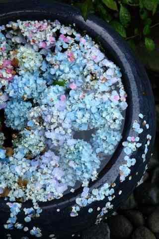 唯美绣球花花瓣洒满水缸手机壁纸