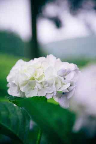 小清新好看的白色绣球花手机壁纸