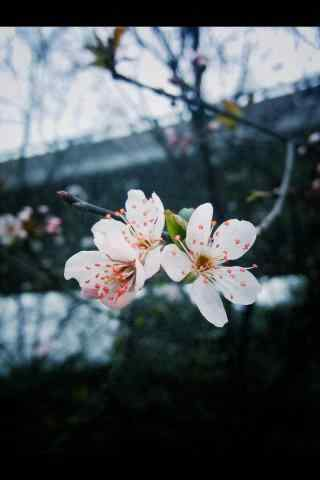 唯美枝桠上的梨花