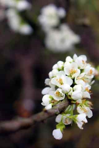 小清新好看的梨花