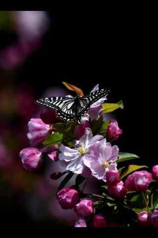 唯美西府海棠花与