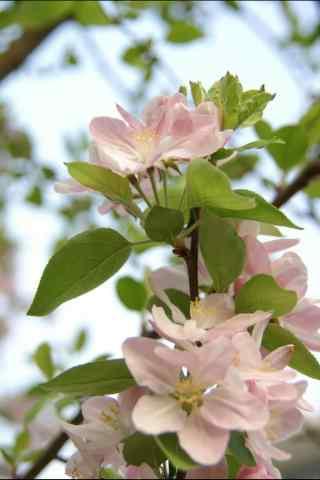 两朵西府海棠花手