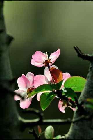 小清新西府海棠花