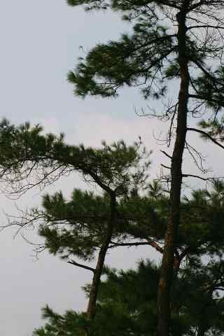未灭落日下的松树林手机壁纸