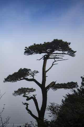 悬崖上的大松树手机壁纸