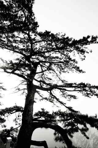 黄山上高耸入云的松树手机壁纸