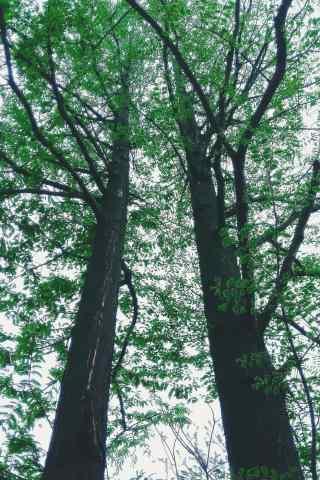 绿色护眼小清新大松树手机壁纸