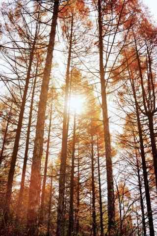 秋日阳光下的松树林手机壁纸