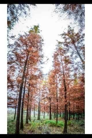 秋日林里的松树林手机壁纸