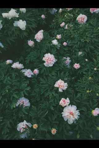 谷雨习俗-赏牡丹花群手机壁纸