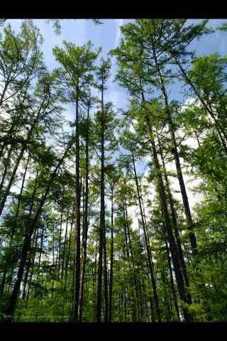 郁郁葱葱的松树林手机壁纸