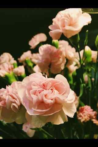 好看的康乃馨花束手机壁纸