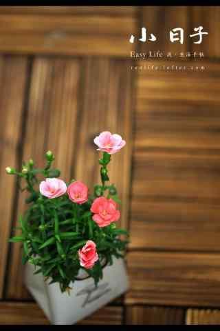 清新好看的康乃馨小花手机壁纸