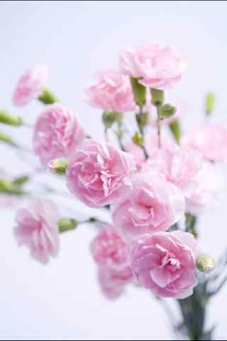 好看的清新粉色康乃馨花束手机壁纸