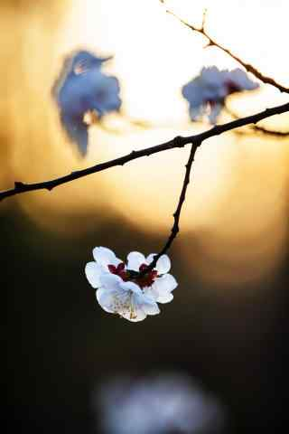 唯美落日下的杏花