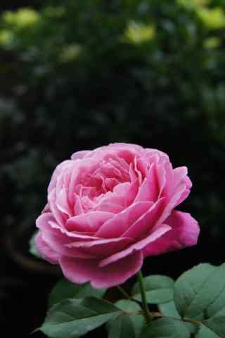 美丽的粉色月季花手机壁纸