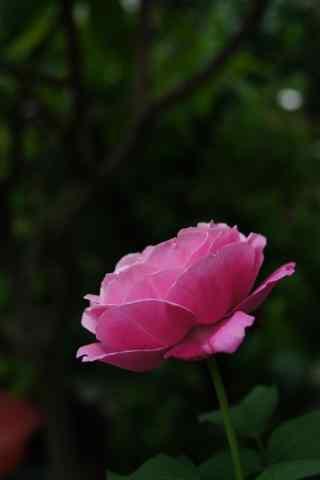 粉色月季花高清手机壁纸