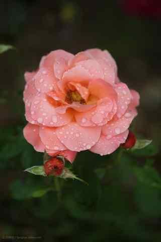 一朵唯美的粉色月季花手机壁纸