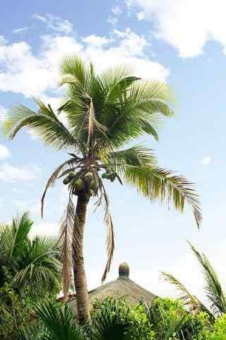 一颗椰树高清手机壁纸