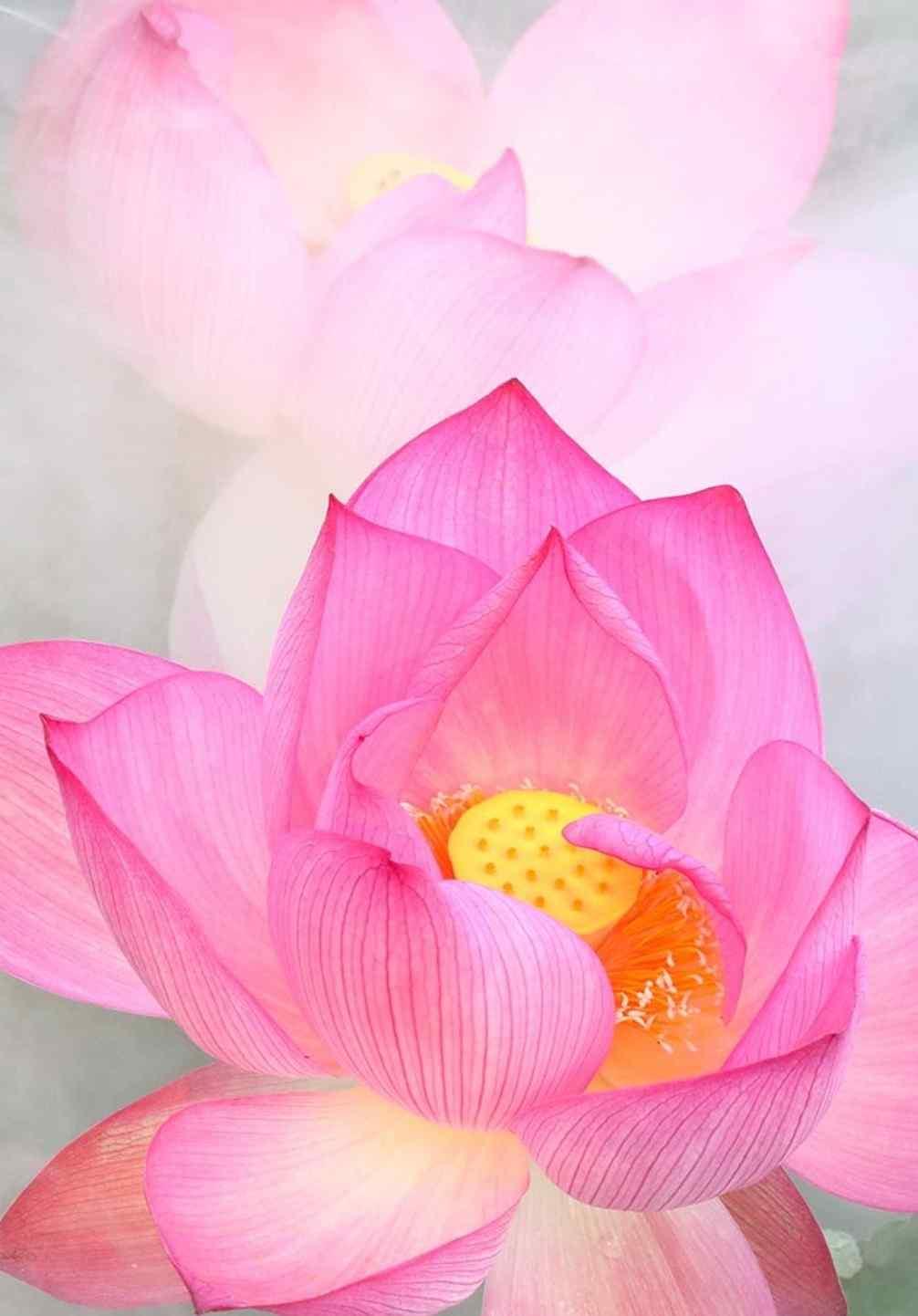 粉嫩的莲花高清手机壁纸