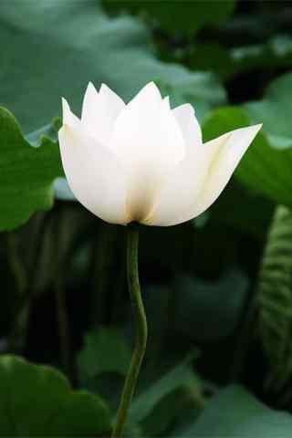 好看的白莲花唯美手机壁纸