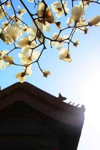 北京故宫玉兰花手机壁纸