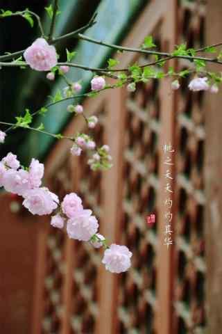 北京故宫唯美桃花