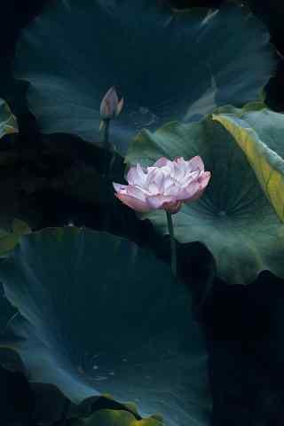 好看的池中(zhong)蓮花(hua)手機壁(bi)紙