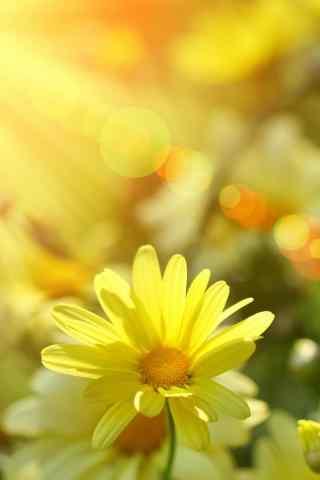 阳光下的小黄花手机壁纸