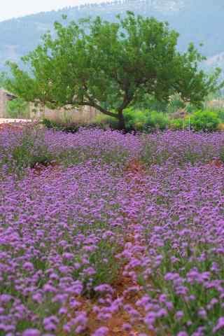 唯美紫色马鞭草花海手机壁纸
