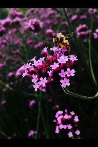 蜜蜂在马鞭草花海中嬉戏手机壁纸