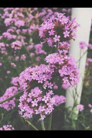 唯美好看的紫色马鞭草手机壁纸
