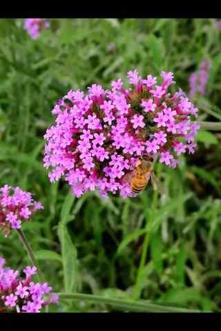 蜜蜂停留在马鞭草上手机壁纸