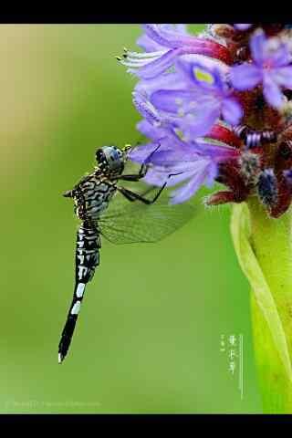 昆虫吸取薰衣草花