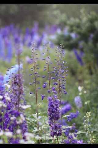 水珠挂满在薰衣草