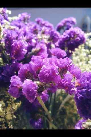 紫色好看的勿忘我