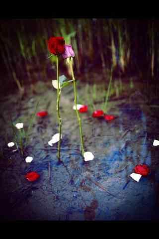 荷塘上的两多玫瑰
