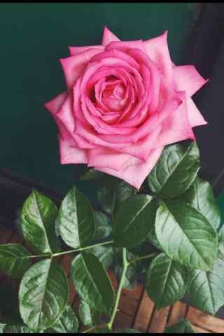 浪漫的粉色玫瑰手
