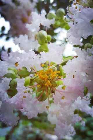好看的粉色紫薇花(hua)手機壁紙(zhi)