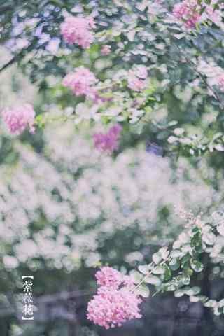 唯(wei)美(mei)好看的紫薇花(hua)手機壁紙(zhi)