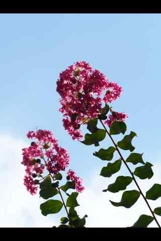 小清晰藍天白(bai)雲下的(de)紫薇花手(shou)機壁紙