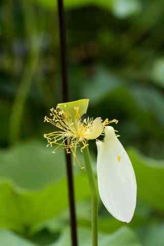 小清新莲蓬上挂着花瓣手机壁纸