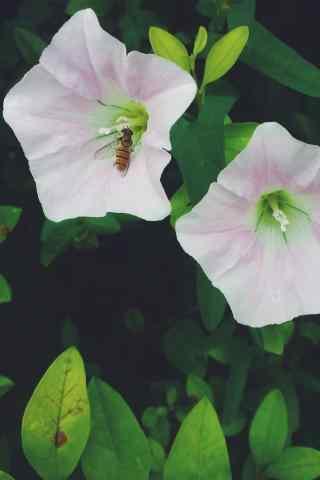 小清(qing)新綠色護(hu)眼好看的粉色牽牛花手機壁(bi)紙