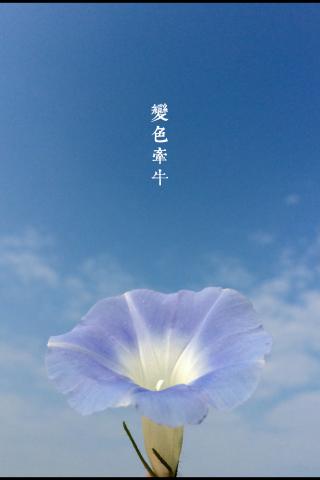 唯美藍天白雲下牽牛花手機壁(bi)紙