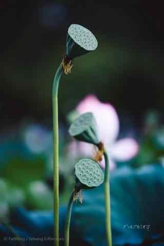 莲花与莲蓬的对话手机壁纸