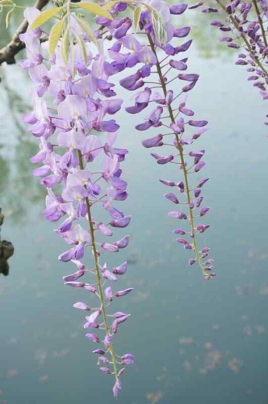 小清新池塘上的紫藤萝手机壁纸