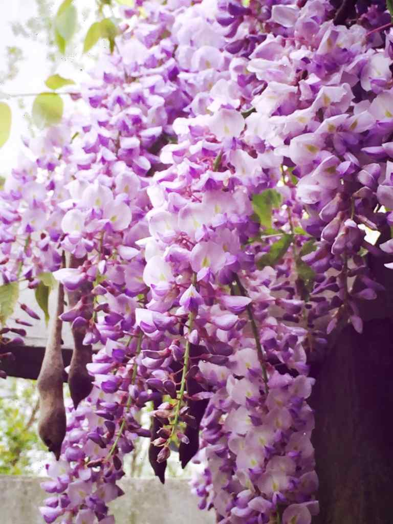 唯美好看的紫藤萝瀑布手机壁纸
