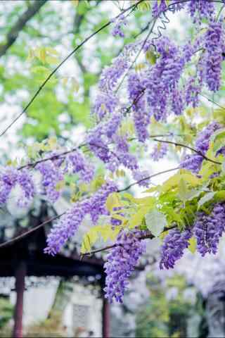 清(qing)新好看的紫藤(teng)蘿花(hua)枝手機(ji)壁紙