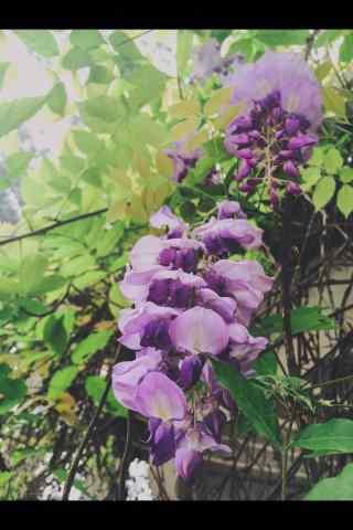唯美好看的紫藤(teng)蘿花(hua)枝手機(ji)壁紙