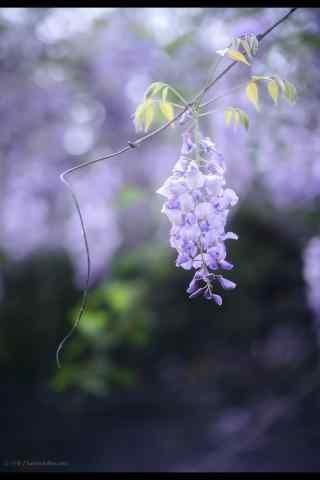 小清(qing)新好看的紫藤(teng)蘿瀑(pu)布(bu)手機(ji)壁紙